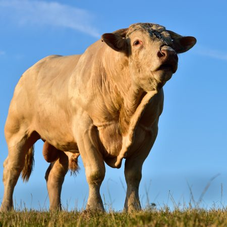 photographe-agriculture-elevage-boeuf